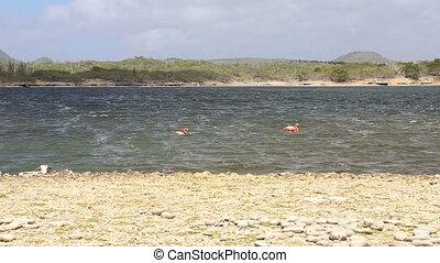 rose flamingo caribbean lake
