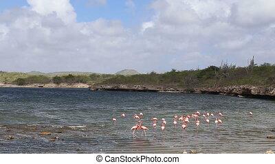 rose flamingos at caribbean lake