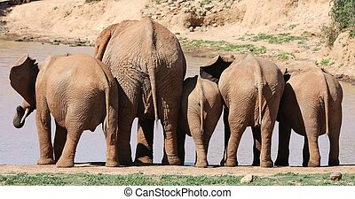 African Elephant Behinds - Row of African elephants drinking...