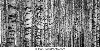 Birch forest - Forest with trunks of birch trees in black...