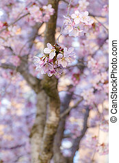 pink cherry tree blossoms