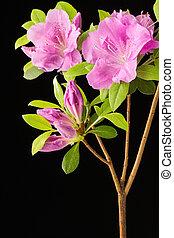 Azalea flowers and buds