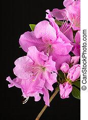 Azalea  Lilac Encore flowers