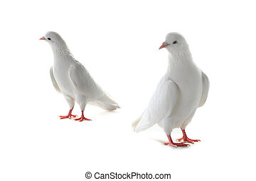 two pigeon  - two white pigeon on a white background