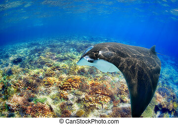 Manta Ray - Manta ray filter feeding above a coral reef in...