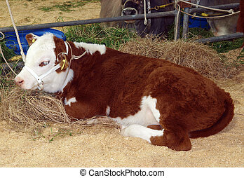 Hereford Calf - A Hereford calf lying on sawdust & hay...