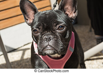 black bulldog with faithful glance - Franzoesische Bulldogge...
