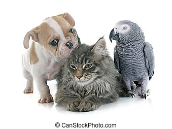 parrot, puppy and cat in front of white background