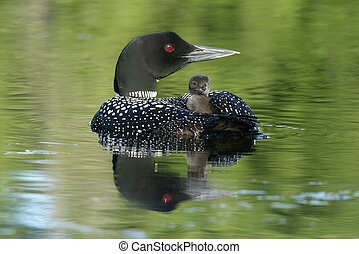 Common Loon Chick Riding on Parent's Back - Common Loon...