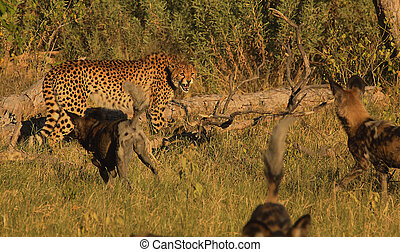 Cat and dog stand off - Wild dogs and cheetah disputing...