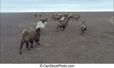 camels graze in the steppes of Kalmykia HD