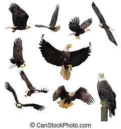 Bald eagles - Bald eagles isolated on the white background