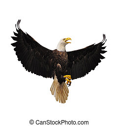 Bald eagle - Bald eagle isolated on the white background