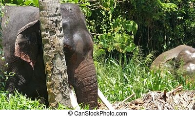 Elephant with large tusks swinging in the forest