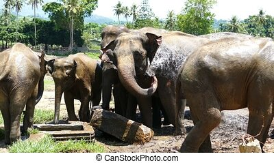 Elephant in Sri Lanka - Elephants spray water at the...