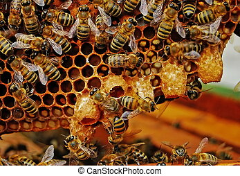 Bees before swarming. - Before swarming bees build cottages...