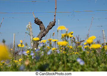 Vine shoots in spring-Vineyard south west of France, Bordeaux Vi