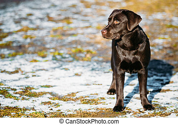 Beautiful Brown Dog Lab Labrador Retriever Staying Outdoor...