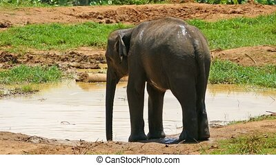 Elephant in Sri Lanka - Elephant at the Pinnawala Elephant...