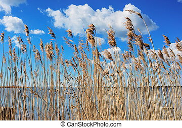 Reeds at the sea - Natural background of reeds against the...