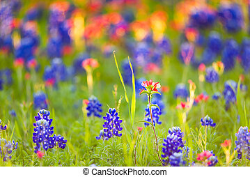 Texas Wildflowers - Bluebonnets and Indian paintbrushes...