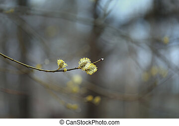 yellow willow buds in the park - Beautiful yellow macro...