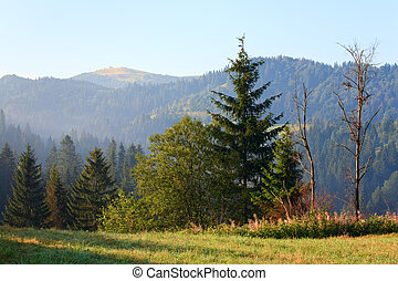 Fir forest on summer mountainside