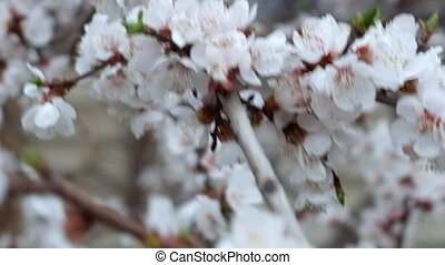 Spring Cherry blossoms, closeup flowers - Spring Cherry...