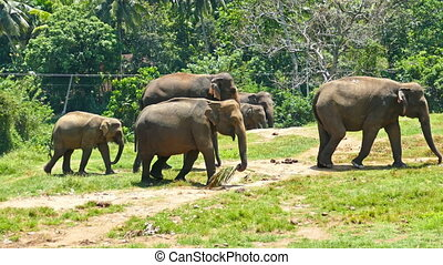 Group of Elephants walking in Sri Lanka