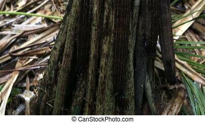 Pandanus hornei in Vallee de Mai Nature Reserve in Praslin....