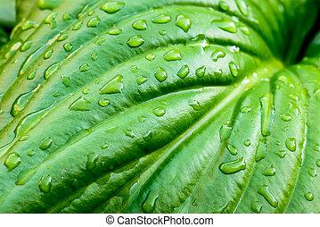 Hosta Leaf with Rain Drops - Detail of a green Hosta leaf...