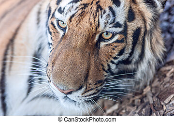 tiger head close-up - The close-up portrait of a tiger head...