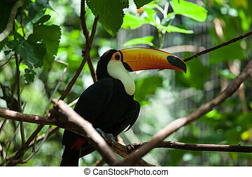 Toco toucan in the reserve of exotic tropical birds. Large...