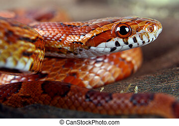 Corn snake - a picture of a beautiful corn snake