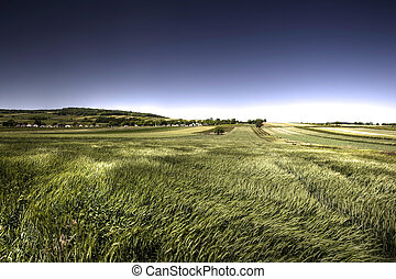 Green grain in windy day with blue sky