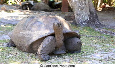 Aldabra giant tortoise. Island Curieuse in Seychelles.