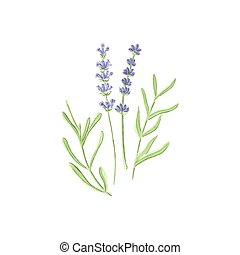 Lavender Watercolor lavanda on the white background,...