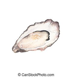 Watercolor oyster on the white background, aquarelle. Vector...