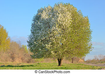 White blooming cherry tree standing alone on field