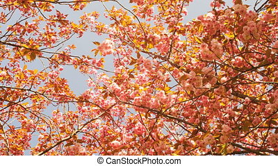 Japanese Cherry Trees Blossoming - Many Beautiful Japanese...