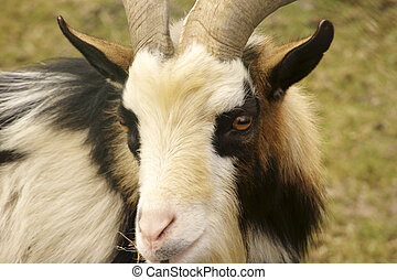 Goat head portrait - The closeup and the portrait of the...