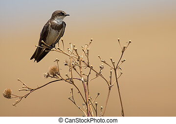 Banded martin sitting on a dry branch and calling its mate -...