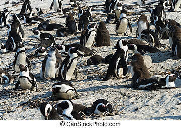 African Penguins Spheniscus Demersus at Boulders Beach...
