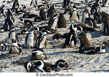 africano, Pingüinos, (Spheniscus, Demersus),