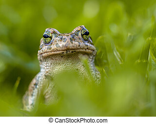 Daring Green toad in Grass - Impudent Green toad Bufotes...
