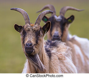 Billy goat portrait - Two Billy goats in a green field
