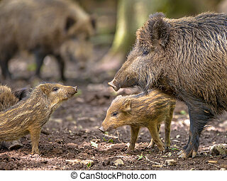 Family Wild Boar - Communicating Family of Wild Boar Sus...