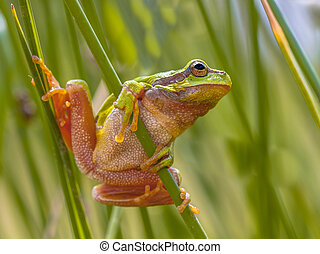 Green European tree frog preparing for a leap - European...