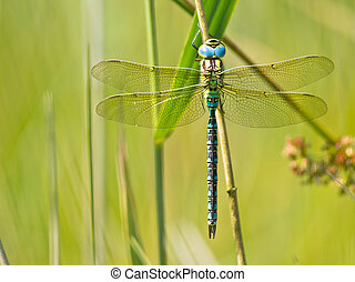Dragonfly Resting on a Leaf - Green Hawker Dragonfly (Aeshna...