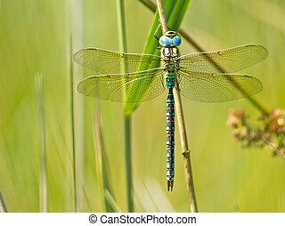 Dragonfly Resting on a Leaf - Green Hawker Dragonfly (Aeshna...